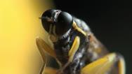 Temnostomina fly macro Stock Footage