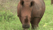 Stock Video Footage of White rhinoceros