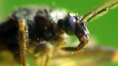 Scutellatus beetle macro Stock Footage