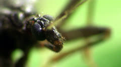 Insect scutellatus is genus of true bug in Miridae family sitt in yellow flower Stock Footage