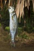 freshwater fish - stock photo
