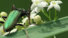 Animals insect Nigricornis beetle macro sitting on flower US Stock Footage