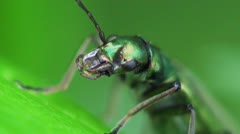 Animals insect Nigricornis beetle macro sitting on green leaf US Stock Footage