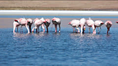 Flamingo in Bolivia Stock Footage