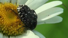Oxythyrea beetle macro Stock Footage