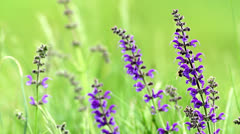 Meadow Clary (Salvia pratensis) in the springtime Stock Footage