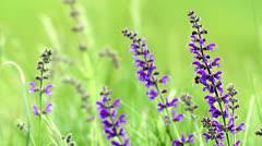 Meadow Clary (Salvia pratensis) in the springtime - stock footage