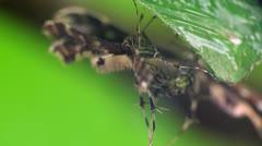 Pterophorus beetle macro Stock Footage