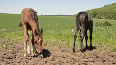 Two warmblood horse foals playing together on meadow. Stock Footage