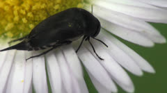 Scaphidiidae beetle macro Stock Footage