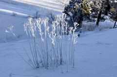plants with rime frost - stock photo