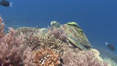 Green Turtle and hitchhiking fish Stock Footage