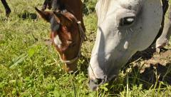 Close up of grazing warmblood horse foal. portrait. Together with mares. Stock Footage