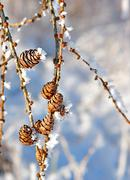 cones with snow crystals - stock photo