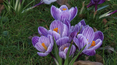 Bunch of lilac white crocuses in lawn Stock Footage