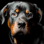 High Contrast Studio Portrait Of An Adult Male Rottweiler Purebred Dog - stock photo