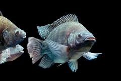 Mozambique Tilapia Oreochromis Mossambicus Isolated On Black Studio Aquarium Stock Photos