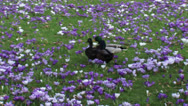 Stock Video Footage of Mallards (anas platyrhynchos) compete for the attention of a female 02