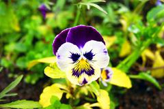 Stock Photo of pansy
