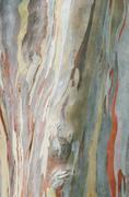 eucalyptus  tree bark - stock photo