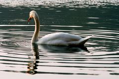 italy green side swan - stock photo