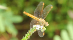 Golden dragonfly Stock Footage