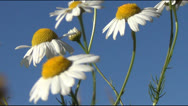 Stock Video Footage of camomiles,