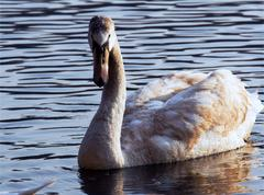 side of little white swan - stock photo
