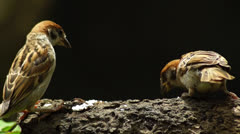 Maya Bird Tree Sparrow pecking grains on tree branch Stock Footage