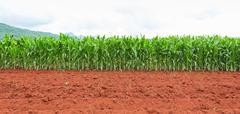 corn plantation in thailand - stock photo