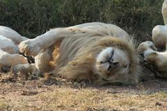 South African White Lion (Male) - stock photo