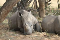 Rhinoceros laying down - stock photo