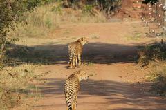 Cheetahs on the prowl Stock Photos