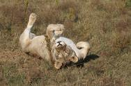 Stock Photo of Female lion playing