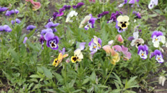 Assortment of Pansies (Viola tricolor hortensis) 6636 Stock Footage