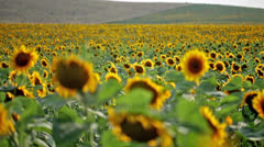 sunflowers floating sharpness - stock footage