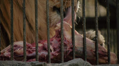 Lion eating meat at the zoo Stock Footage