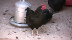 Chicken with black feathers on a farmyard - stock footage