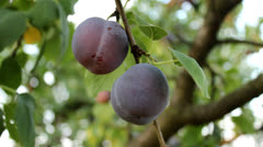 Plum Stock Footage