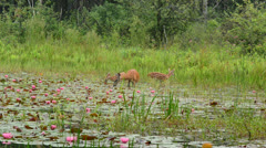 Whitetail Deer Doe And Fawns Stock Footage