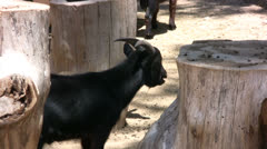 Black goat chewing food Stock Footage
