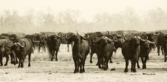 herd of buffalo - stock photo