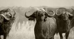 wild african buffalo - stock photo