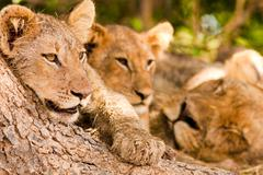 pride of lions - stock photo