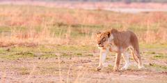 lioness hunting - stock photo
