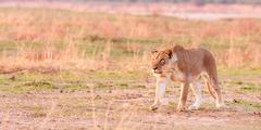 Naarasleijona metsästys Kuvituskuvat