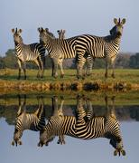 zebra reflection - stock photo