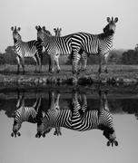 zebra with water reflection - stock photo