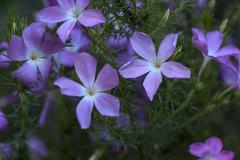 Prickly Phlox Flower - stock photo
