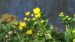 Marsh Marigold, Caltha palustris - close up Stock Footage